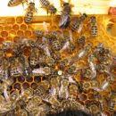 označena matica z čebelami in z trotom na vrhu sata
