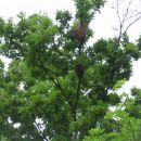 roj čebel je priletel na drevo, čebele iščejo nov dom