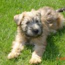 SOFTCOATED WHEATEN TERRIERS