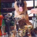 CH. Jasso izpod Šmarne gore, najlepši pes razstave CACIB Ljubljana 1991, moj najuspešnejši