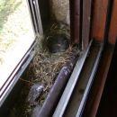 Tako si je naredila pstirička gnezdece na oknu naše kopalnice.