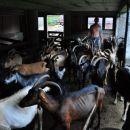 koze čakajo da oddajo svoje mleko
