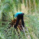 Točenje palmovega soka