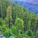 Gozd Kanarskega bora