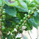 Cafetos - zrna kave
