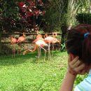 Karibi-Guadaloupe-flamingi