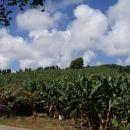 Karibi-Martinique-plantaža banan