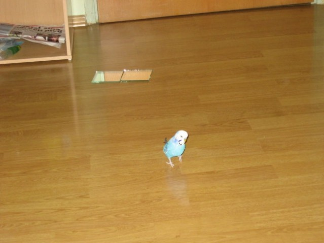 Skobčevke - moji papagajčki - foto