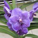 Vanda Robert's Delight big blue