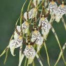 Brassia Summer Dream