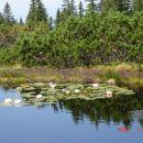 Cvetoči lokvanj na drugem jezeru