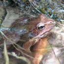 Žabica v Iškem Vintgarju