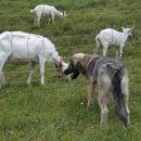 Kato in kozice